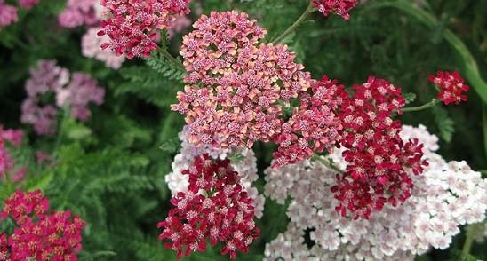 Small flowers Yarrows