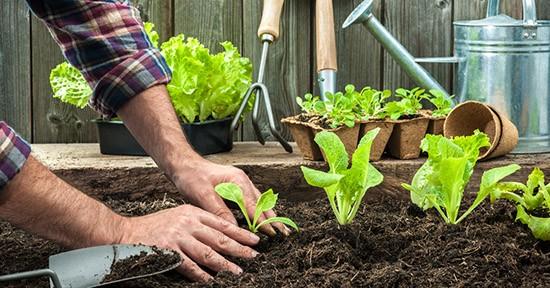 Lattuga, coltivazione