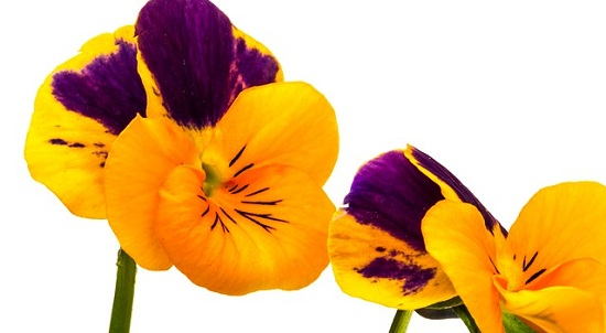 pansy-686486