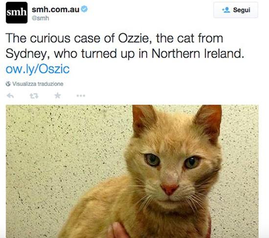 Gatto australiano