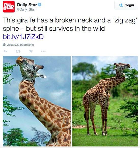 Collo della giraffa