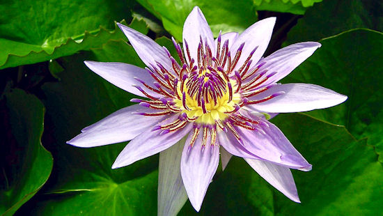 Blue Egyptian lotus, Blue water lily, Sacred Blue lily