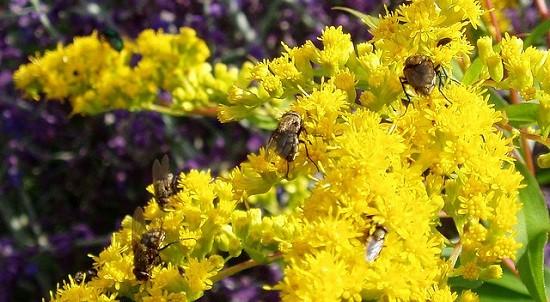 Flies on Golden Rod