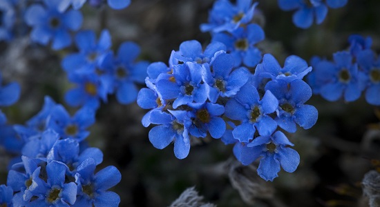 Mountain_Forget-me-not
