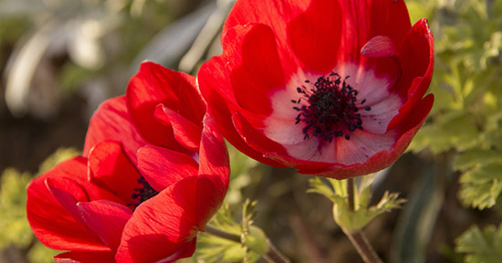 Anemone rosso