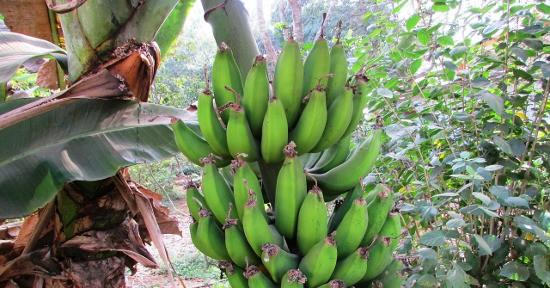 La banana viene coltivata soprattutto in Asia, Africa e America Centrale.