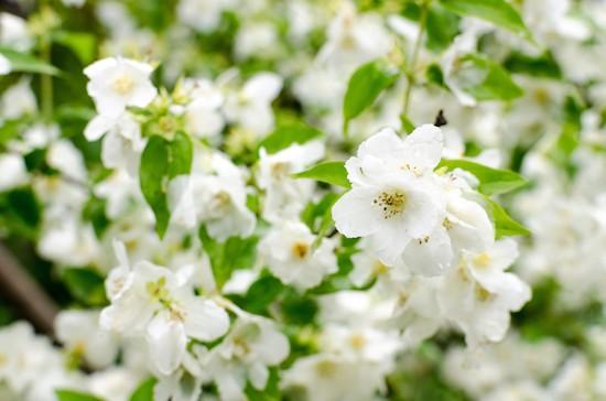 Gelsomino, fiori