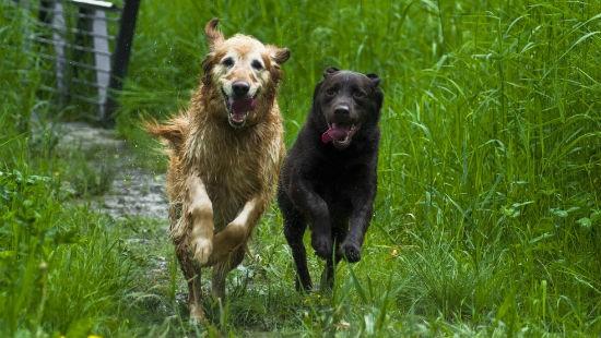 Cani corsa
