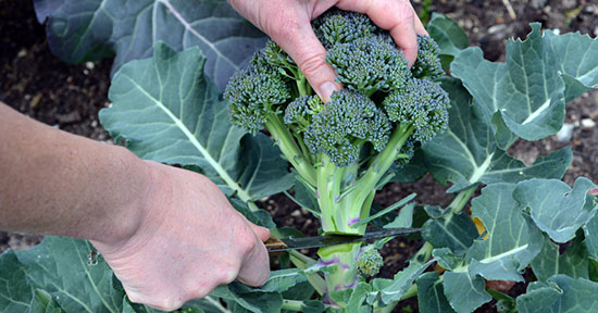 Broccoli in orto