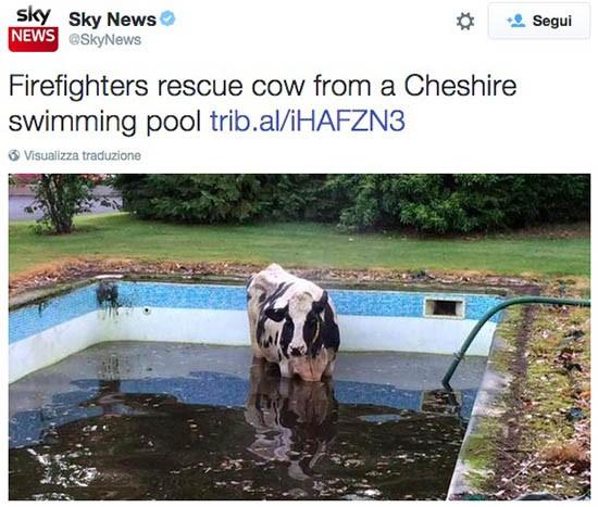 Mucca in piscina