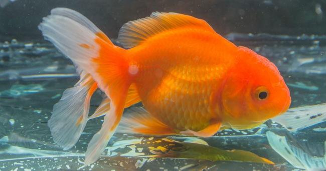 Mascella bionica per il pesciolino rosso greenstyle for Piscina per pesci rossi