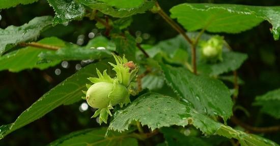 Le nocciole sono un frutto gustoso e ricco di proprietà benefiche