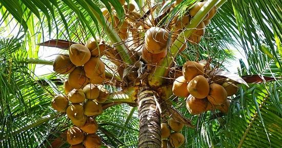 Le palme da cocco sono originarie della zona tropicale e subtropicale.