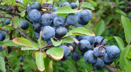 Closeup of blackthorn aka sloe aka prunus spinosa sweden