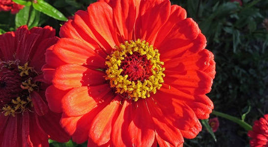 Double Red Zinnia