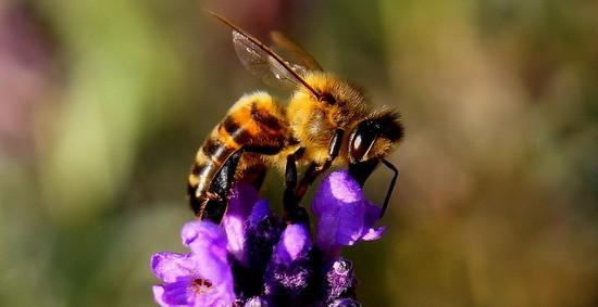 Il miele è un prezioso prodotto delle api