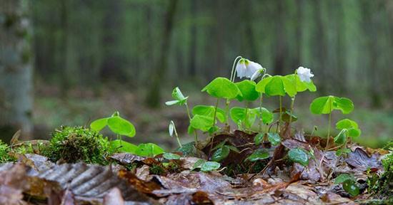 Acetosella nel bosco