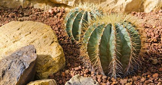 Cactus nel deserto