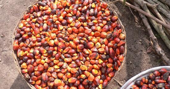 Frutti palma da olio