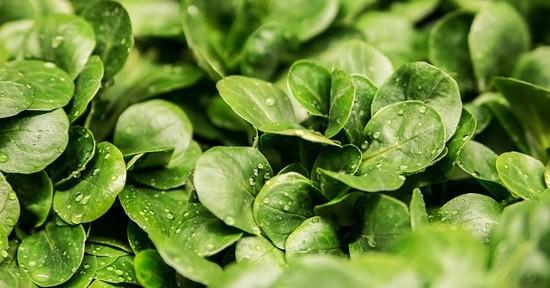 Alimenti con Vitamina B12: la lattuga