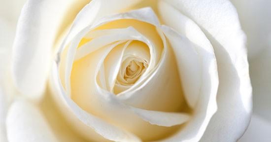 Rosa bianca, macro