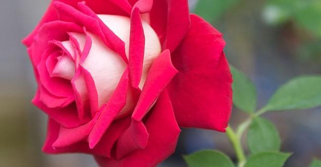 Rosa osiria: significato e dove trovarla - GreenStyle