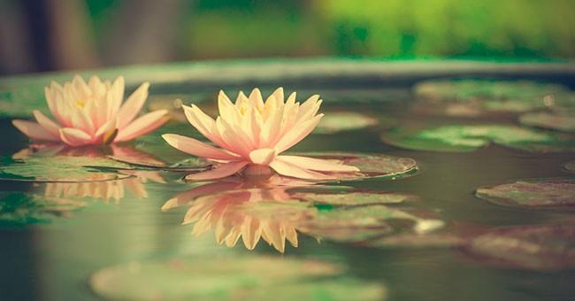 stagno in vaso per i fiori di loto come fare greenstyle