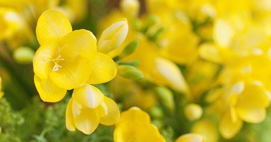 Fresie gialle