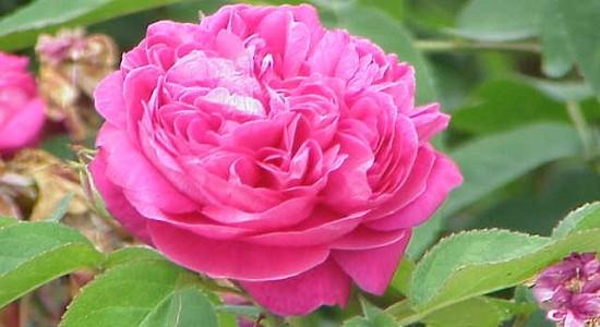 Rosa damascena5