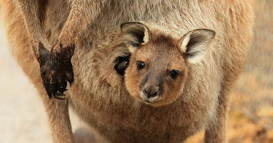 Marsupio del canguro