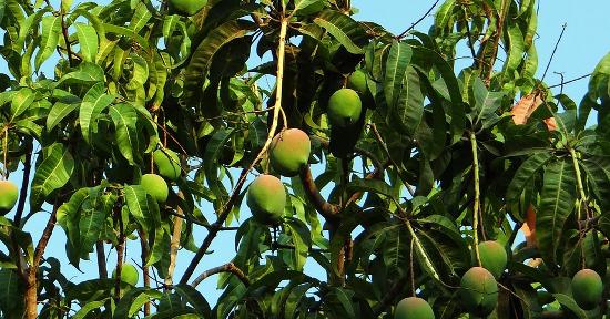 Pianta del mango