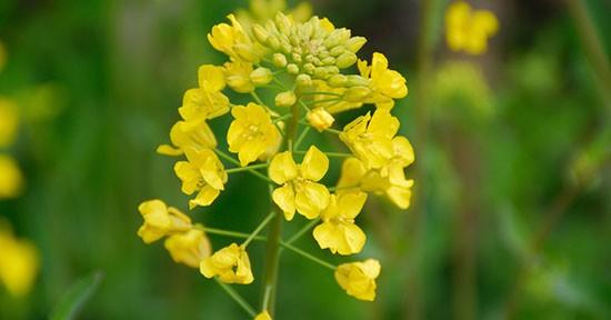 La salsa di senape e l'omonima spezia si ricavano dai semi di questa pianta.