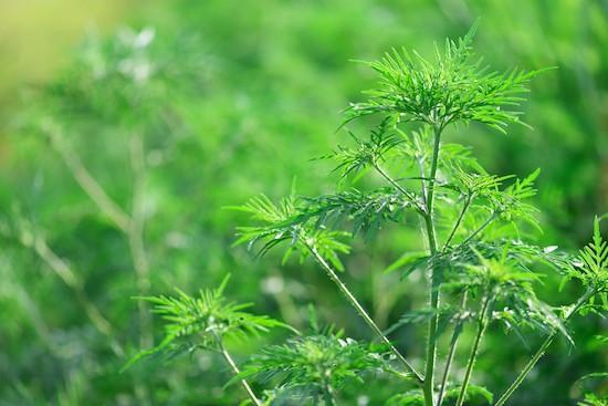 Ambrosia, pianta