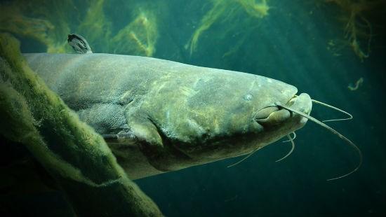 Pesce siluro in acqua