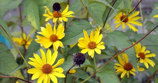 Topinambur fiori