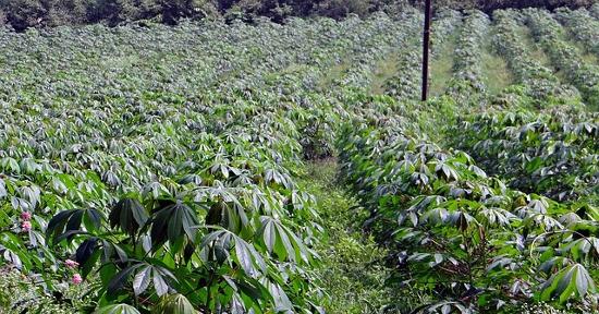 Piante di manioca