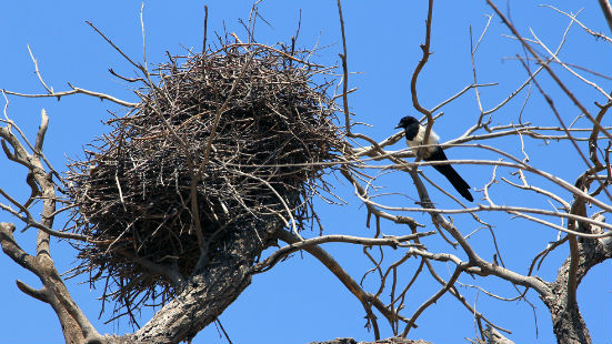 Gazza ladra nido
