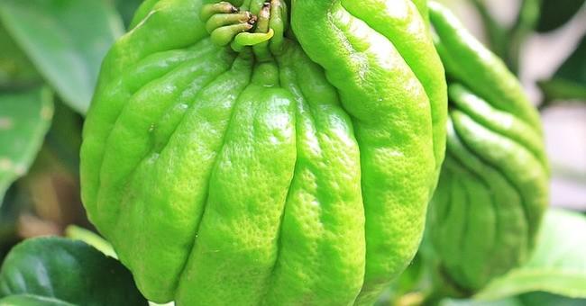 Cedro: come si mangia il frutto dell\'albero - GreenStyle