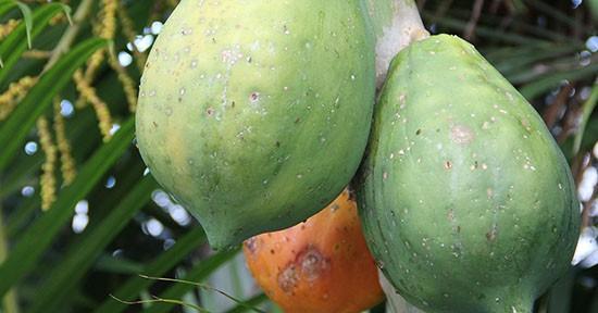 Cicatrizzanti naturali: Papaya