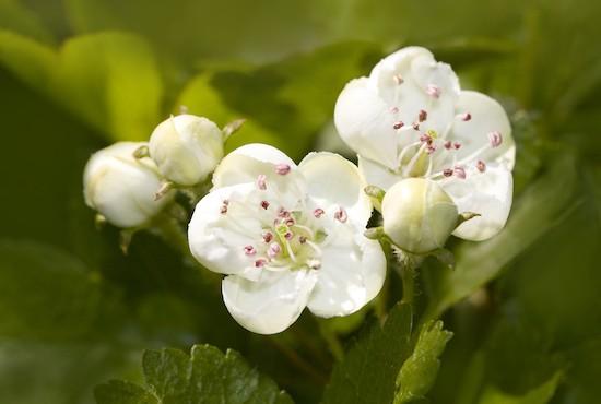 Biancospino, fiori