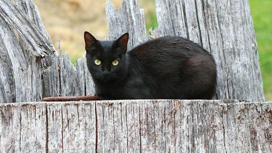 Gatto nero bis