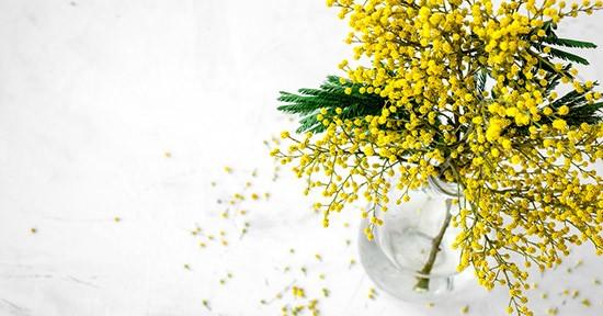 Mimosa in vaso