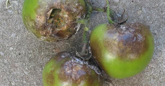 Peronospora dei pomodori