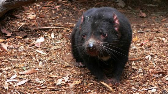 Diavolo della Tasmania1