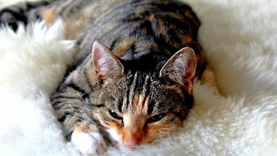 gatto fusa