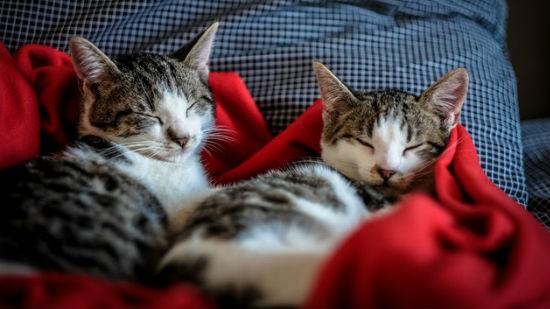 Coppia di gatti