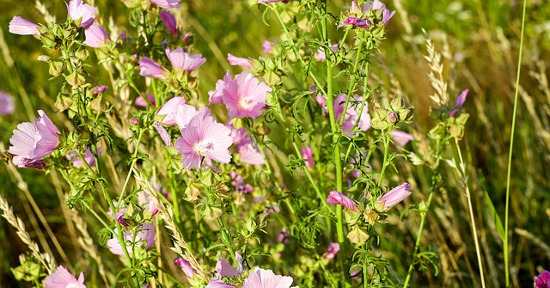 Roses-mallow
