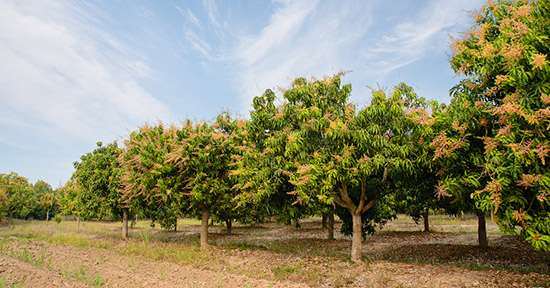 Coltivazione del mango