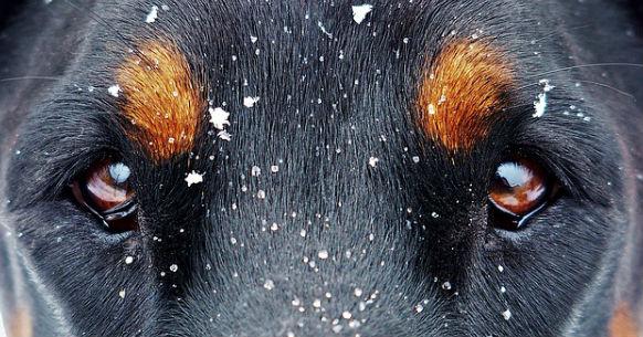 Occhi cane