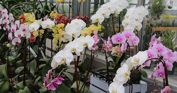 Come prendersi cura di un'Orchidea